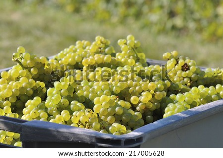 closeup of grapes in a box during the harvest - stock photo