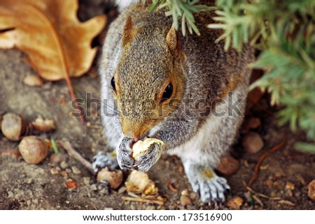 Closeup of gray squirrel: A gray squirrel chomping on taco at Urbana, Illinois Squirrel / Animal / Wildlife Background - stock photo