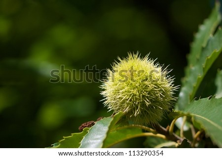 closeup of green american chestnut - stock photo