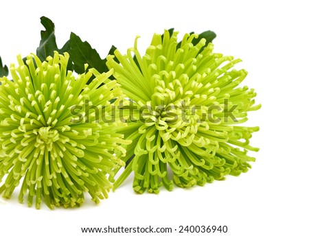 Closeup of green chrysanthemum flowers