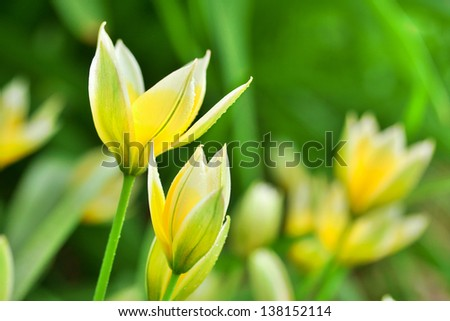 closeup of green flower bud amongst others signifying promise of spring - stock photo