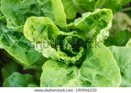 closeup of green fresh lettuce in garden - stock photo