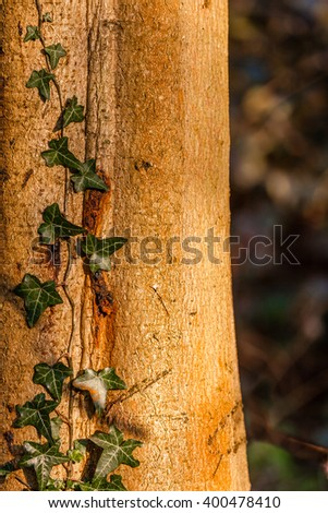 Closeup of green ivy growing on an old tree trunk - stock photo