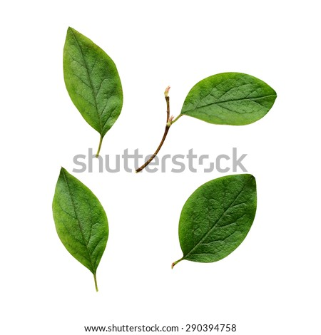 Closeup of green leaves isolated on white - stock photo