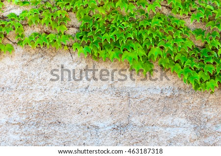 Closeup of green leaves of ivy with copy space on the wall
