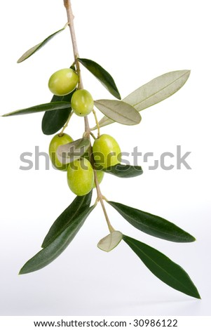 Closeup of green olives branch over white background