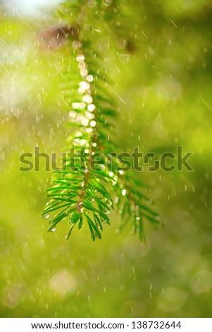 closeup of  green pine tree branch in light summer rain shower, drops, bokeh - stock photo