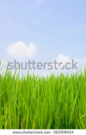 Closeup of green rice field on white background.Agricultural concept,Natural concept.