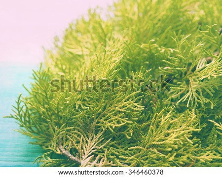 Closeup of green thuja branch on green pastel background - stock photo