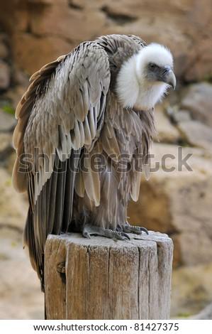 Closeup of griffon vulture (Gyps fulvus) on stump - stock photo
