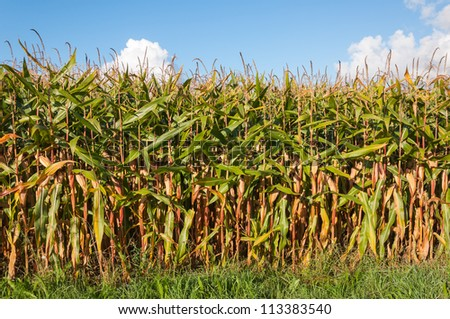 Closeup of growing silage maize ready for harvesting in the Netherlands.. - stock photo