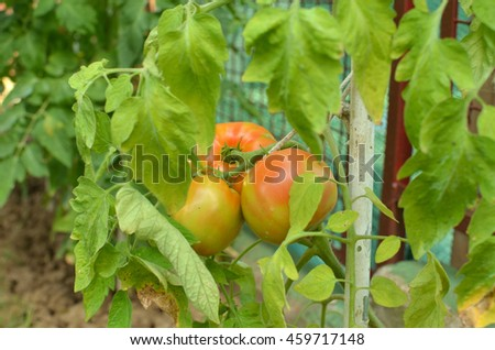 Closeup of half ripe tomatoes growing in a private garden - stock photo