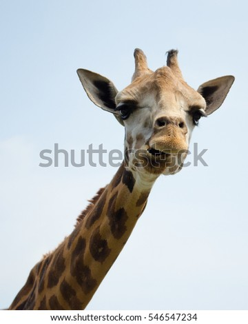 Closeup of Happy Giraffe with Friendly Facial Expression, Against Clear Blue Sky