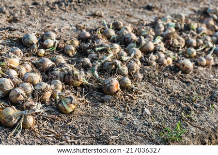 Closeup of harvested onions in a row drying on the field waiting for transport.