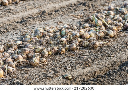 Closeup of harvested onions in a row drying on the field waiting for transport. - stock photo