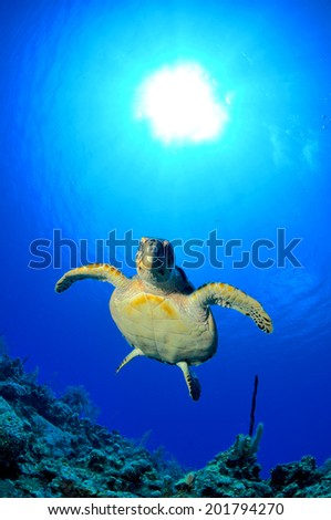 CloseUp of Hawksbill Turtle with Sunburst, Grand Cayman