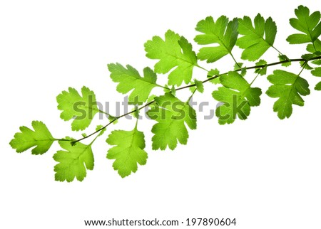 Closeup of hawthorn twig with green leaves isolated on white background  - stock photo