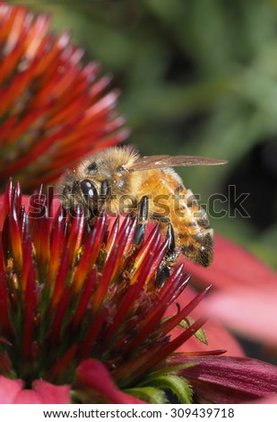 Closeup of Honey Bee on a Colorful Corn Flower - stock photo