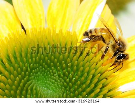 Closeup of Honey Bee on Yellow Corn Flower Blossom    - stock photo