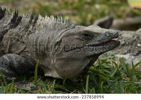 Closeup of iguana at Tulum, Yucatan Peninsula - stock photo