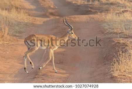 "Closeup of Impala ( Aepyceros melampus, or ""Swala pala"" in Swaheli) in the Tarangire National park, Tanzania"
