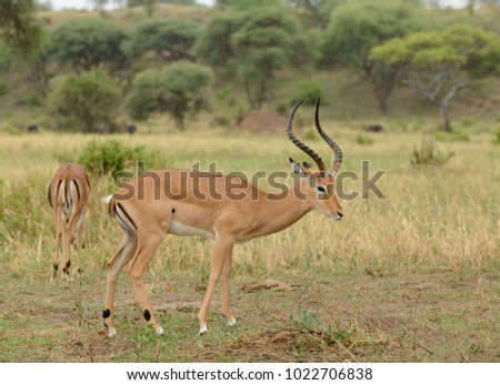 "Closeup of Impala (scientific name: Aepyceros melampus, or ""Swala pala"" in Swaheli) image taken on Safari located in the Tarangire,  National park, Tanzania"
