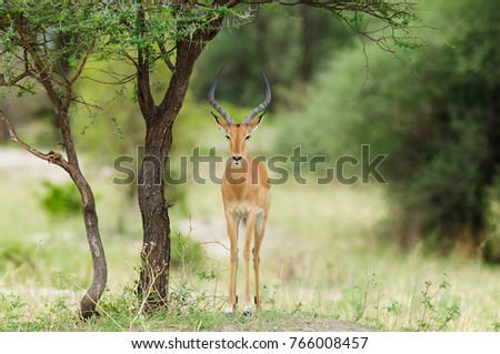 "Closeup of Impala (scientific name: Aepyceros melampus, or ""Swala pala"" in Swaheli) image taken on Safari located in the Tarangire National park in the East African country of Tanzania"