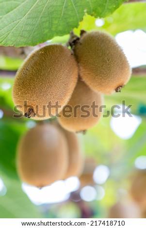 Closeup of kiwi fruits - stock photo