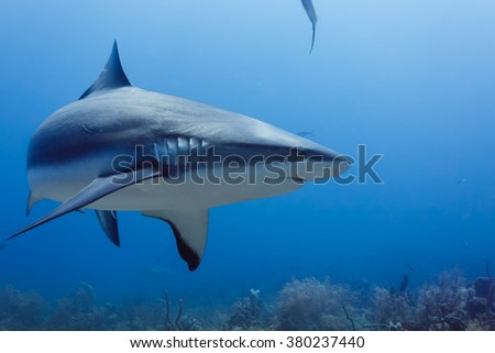 Closeup of large reef shark, Carcharhinus amblyrhynchos, swimming above coral reef - stock photo