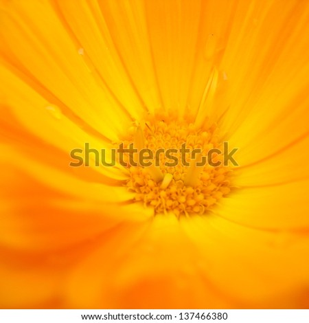 Closeup of Large yellow-orange gerbera flower
