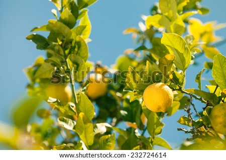 Closeup of lemon tree over blue sky in Spain. - stock photo