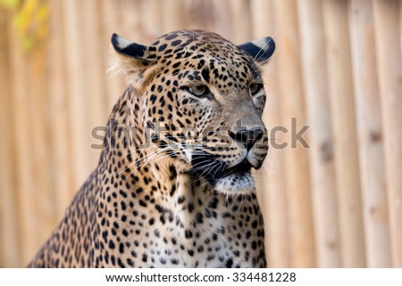 Closeup of Leopard (Panthera pardus kotiya) looks forward with black background,  - stock photo
