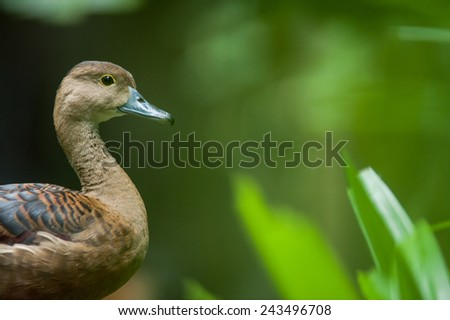 Closeup of Lesser Whistling Duck (Dendrocygna javanica) - stock photo