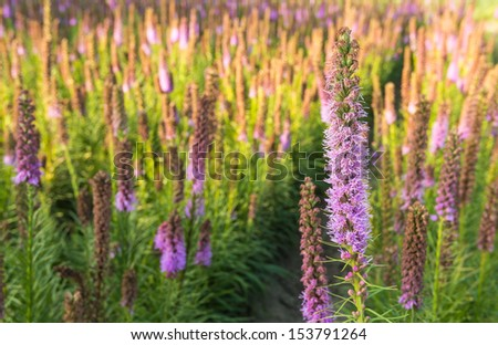 Closeup of lilac blooming Dense Blazing Star or Liatris spicata plants in a garden plants nursery. - stock photo