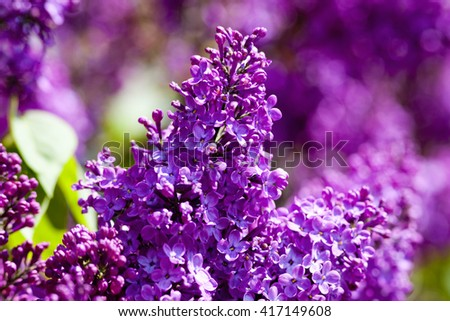 Closeup of Lilac Flower at Blossom in Spring