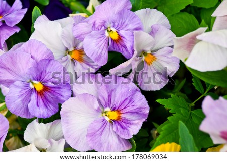 Closeup of lilac tinged pansy flowers, shallow depth of field