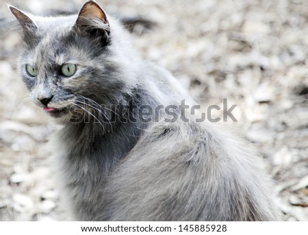Closeup of longhaired, grey cat licking lips  - stock photo