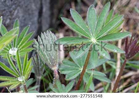 Closeup of lupine leafs at different stages and different shapes with water drops. Latin name: Lupinus wolfish