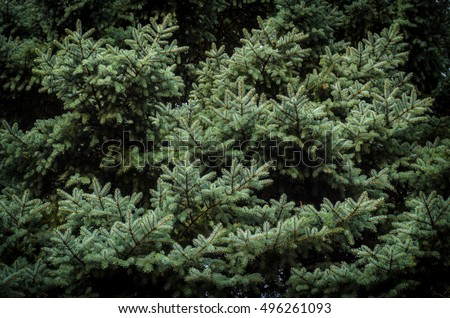 closeup of luxuriant spruce branches