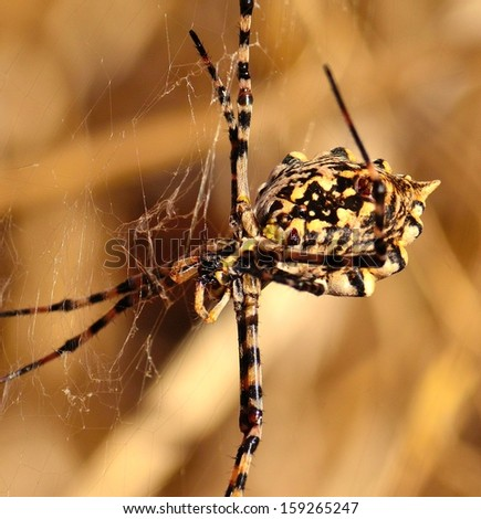 Closeup of magnificent spider argiope argentata hanging from its cobweb