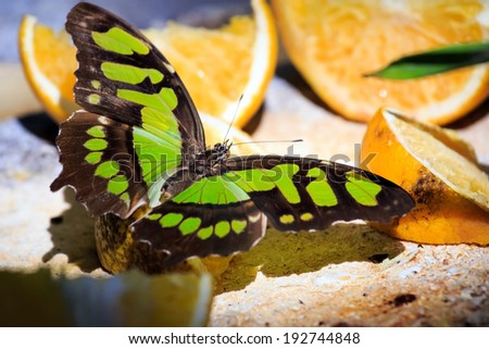 Closeup of Malachite butterfly feeding on slices of orange fruits - stock photo
