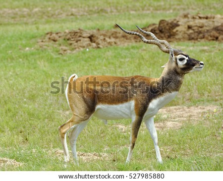 Closeup of male Blackbuck Antelope in grassland