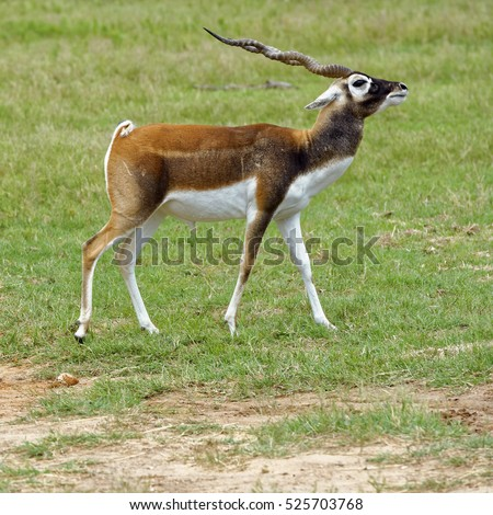 Closeup of male Blackbuck Antelope walking across grassland