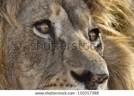 Closeup of male lion - stock photo