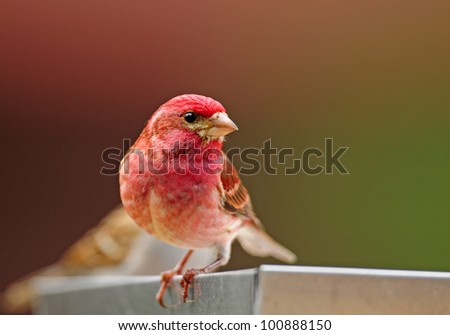 Closeup of male purple finch perched on edge of tray-style bird feeder - stock photo