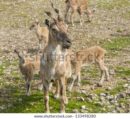 Closeup of markhor in their natural habitat
