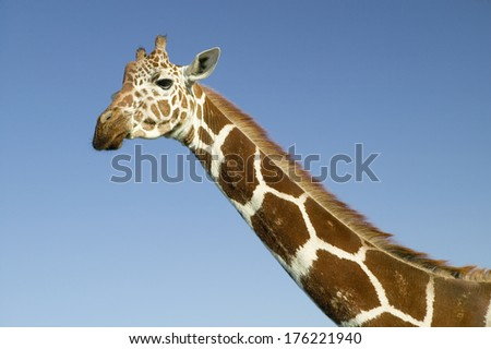 Closeup of Masai Giraffe stairs into camera at the Lewa Wildlife Conservancy, North Kenya, Africa - stock photo
