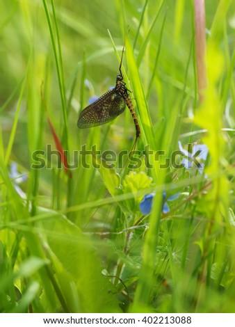 closeup of mayfly (Ephemeroptera) on leaf - stock photo