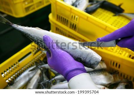 Closeup of men cutting Tuna fish in fish industry - stock photo