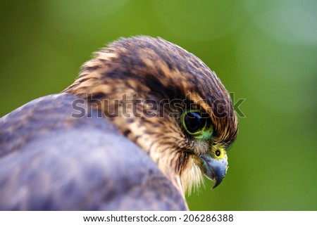 Closeup of Merlin Falcon - stock photo